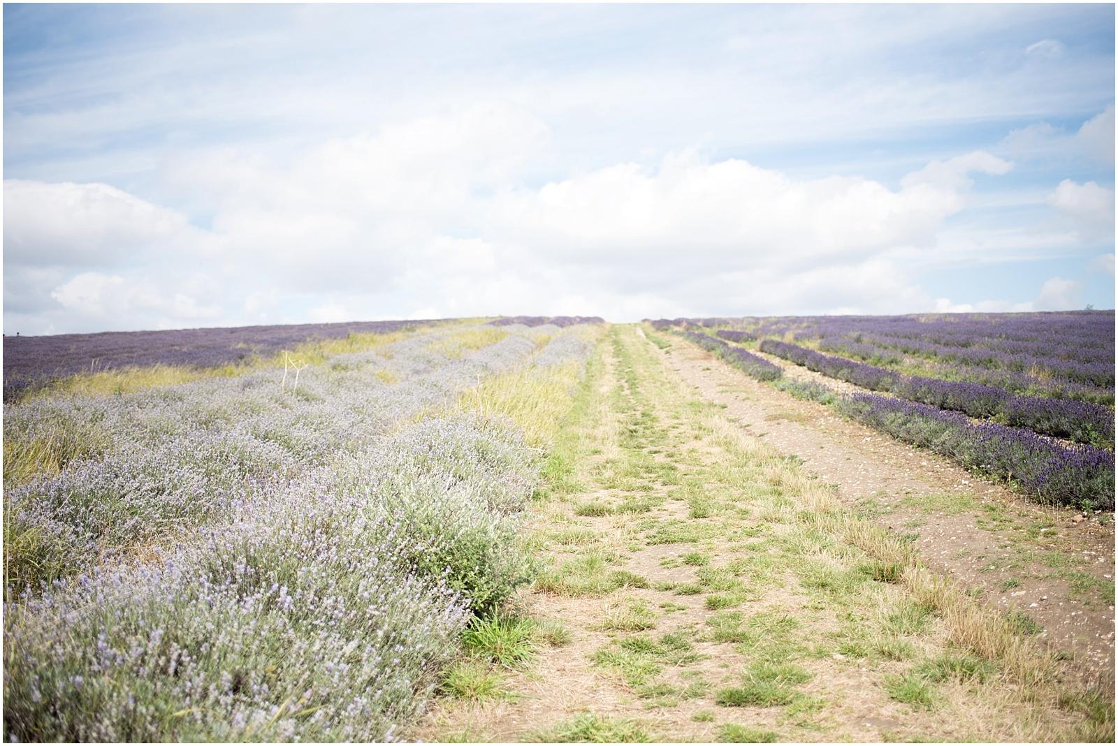 Hitchin lavender field